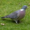 European Wood Pigeons / Woud D