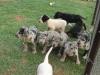 Great Dane Puppies German Bloo