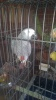 African grey is getag