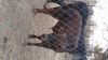 Nguni Bull calf for breeding