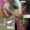 This little piggy is for sale