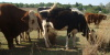 Beeste/Cattle