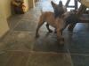 Malinois Puppies - 12 weeks Ol