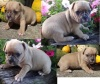 Pug puppies 8 weeks!! R 2800