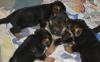 German Shepherd puppies availa