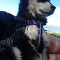 Maolamute huskey/dog 3 months old