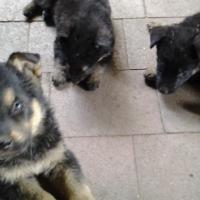 German shepherd x puppies for sales