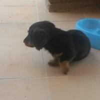 Miniature long hair Dutch hound puppys