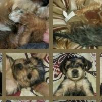 Morkey Puppies