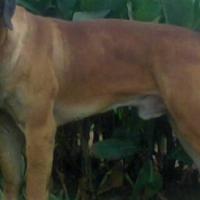 Male Ysterberg Mastiff 2 years old.