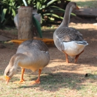 SOLD - Geese for sale - Durban