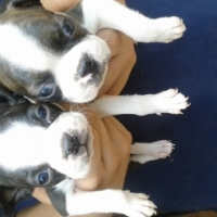 4 boston terrier boys available.  8 Weeks old