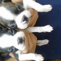 Boston terrier (8 Weeks old)