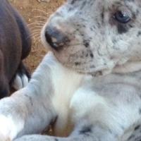 Great Dane puppies x 2 registerable