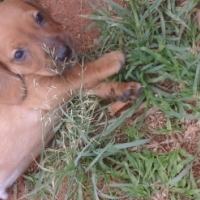 Addorable cocker spaniel cross jack russel for sale