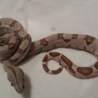 Hypo Red Tail babies