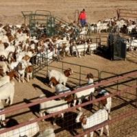 Nguni Cattle, Zulu Sheep, Goats and Other Healthy Livestocks Available