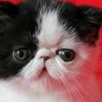 Exotic & Persian Kittens For Sale