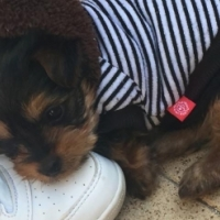 YORKIE FEMALE PUP ready for her family