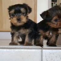 8 Week old Yorkie Puppies for sale.