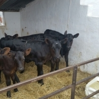 beef calves for sale