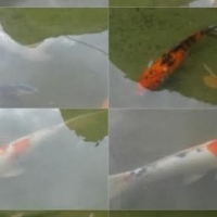 Koi fishes for sale!