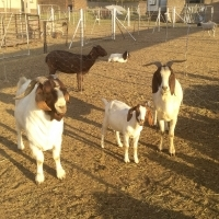 Red head goats & Dorper sheep