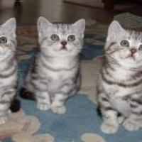British short hair kittens for sale