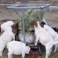 sheep/goats for sale
