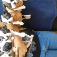 Boston terrier boys 6 weeks old looking for forever homes