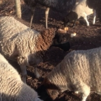 Dorper Sheep well vaccinated already