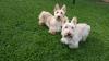Wheaten Scottish Terriers