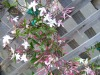 Pink Jasmine, Chinese Jasmine, Fragrant Jasmine