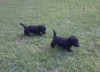 Cute Scottish Terrier puppies available