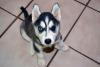 Husky puppies for sale, Inocul