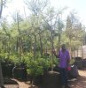 Acacia karoo for sale in bags ex farms