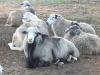 SHEEP RAMS (ROMANOFF AND ROMAN
