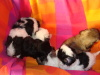 Thih Tzu puppies for sale