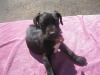 8 Week Great Dane Puppies for