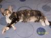Tortoiseshell alico kitten