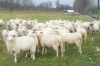 Dorpers, Kalahari Red, Sheep,