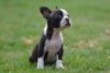 Pragtige Boston Terrier Hondji