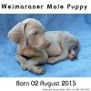 Purebred Weimeraner Puppy