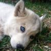 Two blue eye Siberian husky pu
