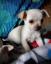 chihuahua baby boy