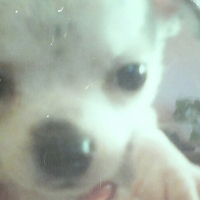 Purebred Small Type Chihuahua Female