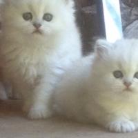 Male silver chinchilla kitten