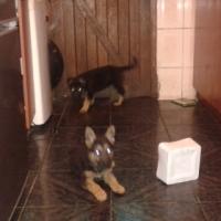 GermansShepherd puppies