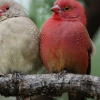 Waxbills and finches