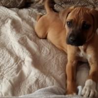 Rifrug/ridgeback x puppies for sale